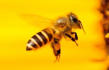 Czym jest pszczoła? cz. 1 Odpowiedź Platona